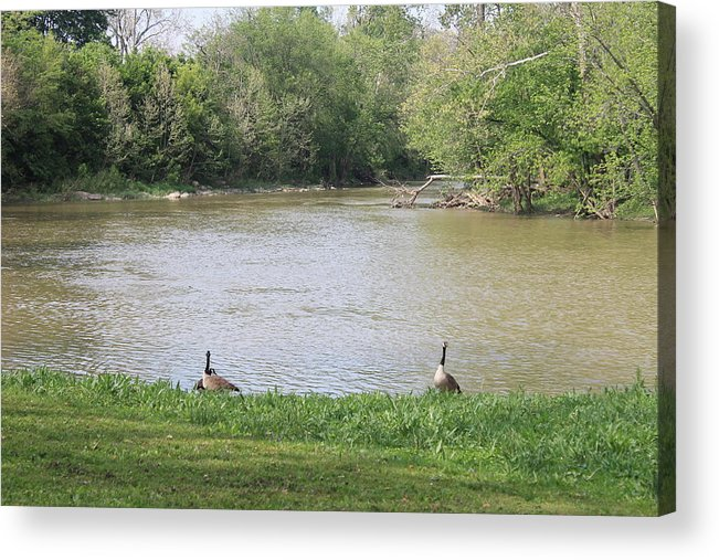 Parents Acrylic Print featuring the photograph Parenting Geese 1 by Michael Duncan