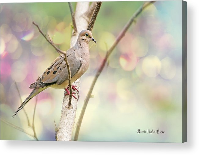 Mourning Dove Acrylic Print featuring the photograph Peaceful Mourning Dove by Bonnie Barry