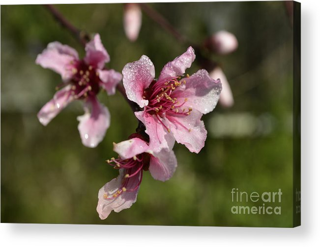 Flower Acrylic Print featuring the photograph Peach Blossom Clusters by Donna Brown
