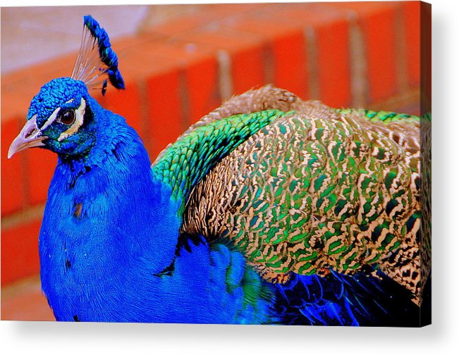 Acrylic Print featuring the photograph Peacock by Christy Phillips