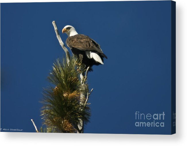 Bald Eagle Acrylic Print featuring the photograph Perched by Mitch Shindelbower
