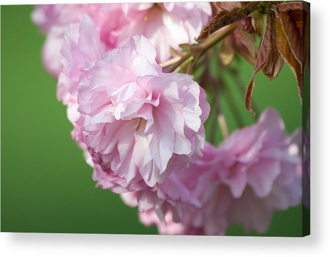 Pink Acrylic Print featuring the photograph Pink And Green by Matthew Pasetti