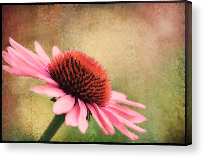Beauty Acrylic Print featuring the photograph Pink Beauty by Darren Fisher