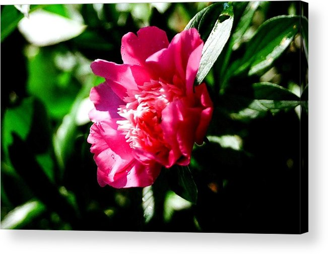 Flower Acrylic Print featuring the photograph Pink by Brian Roberts