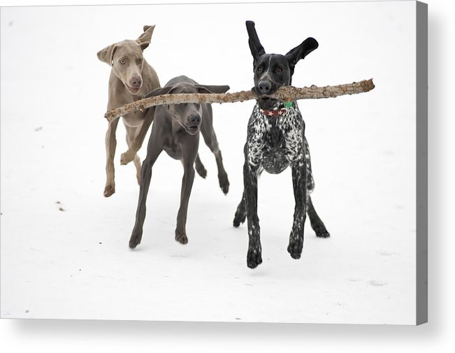 Horizontal Acrylic Print featuring the photograph Pointers Rule, Weimaraners Drool by Michael Fiddleman, fiddography.com