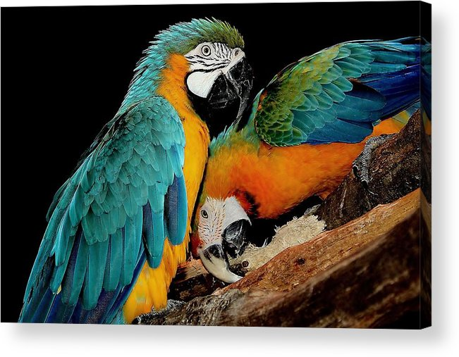 Parrot Acrylic Print featuring the photograph Poly Wants A Cracker by Paulette Thomas