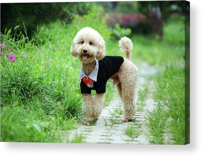 Horizontal Acrylic Print featuring the photograph Poodle Wearing Suit by Photography by Bobi