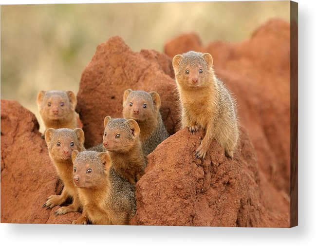 Africa Acrylic Print featuring the photograph Portrait Of Seven Dwarf Mongooses by Roy Toft
