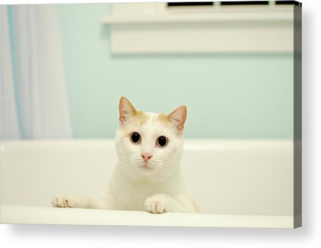 Horizontal Acrylic Print featuring the photograph Portrait Of White Cat by Melissa Ross