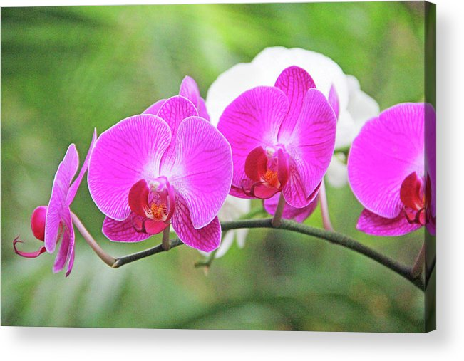 Flower Acrylic Print featuring the photograph Pretty Orchids All In A Row by Becky Lodes