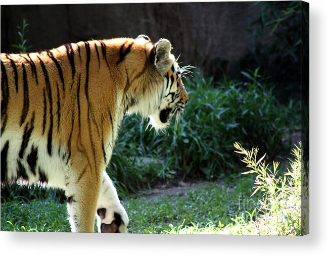 Tiger Acrylic Print featuring the photograph Prowling 2 by Lauren Nicholson