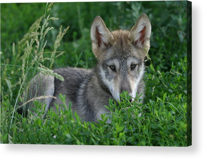 Wolf Acrylic Print featuring the photograph Pup In The Grass by Shari Jardina