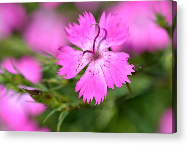 Flower Acrylic Print featuring the photograph Purple Dreams by Marian Heddesheimer