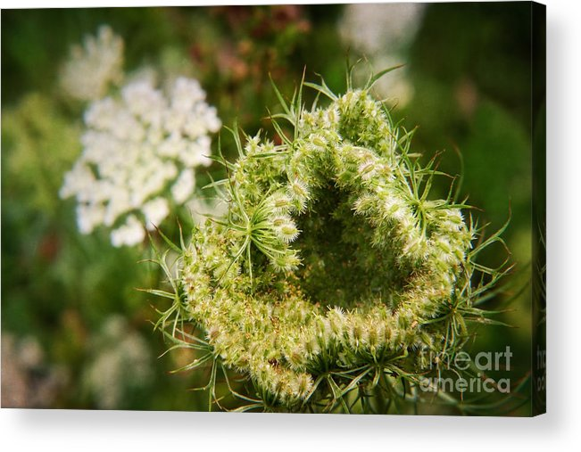 White Acrylic Print featuring the photograph Queen Anne's Lace Going To Seed by Susan Isakson