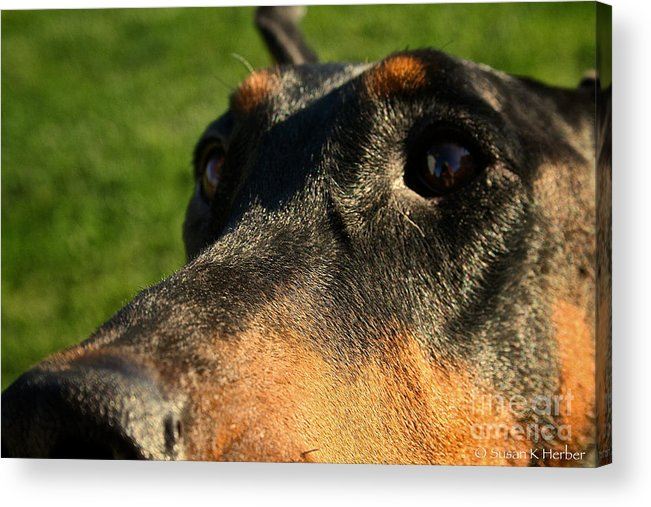 Mammal Acrylic Print featuring the photograph Questions by Susan Herber