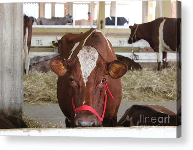 Cow Acrylic Print featuring the photograph Red And White Cow In A Stable Close Up by Robert D Brozek
