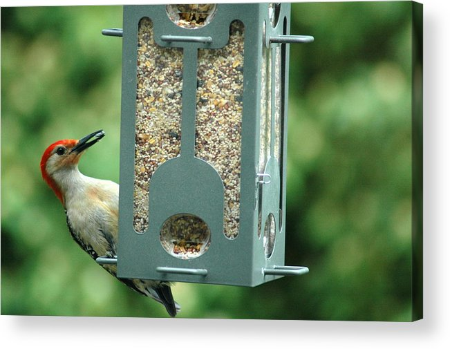 Woodpecker Acrylic Print featuring the photograph Red Bellied Woodpecker by Ronald T Williams