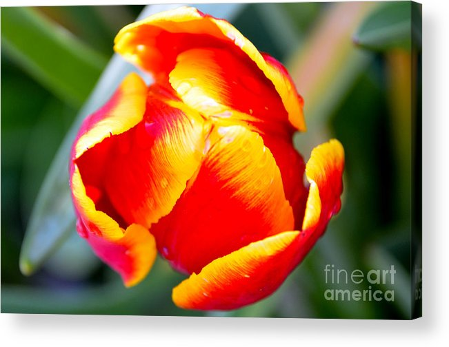 Tulip Acrylic Print featuring the digital art Red In A Tulip by Pravine Chester