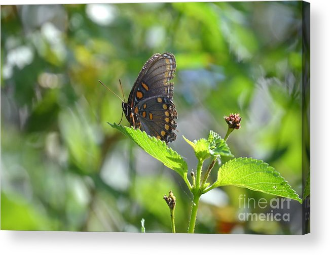 Butterfly Acrylic Print featuring the photograph Red Spotted Purple Butterfly by Kathy Gibbons