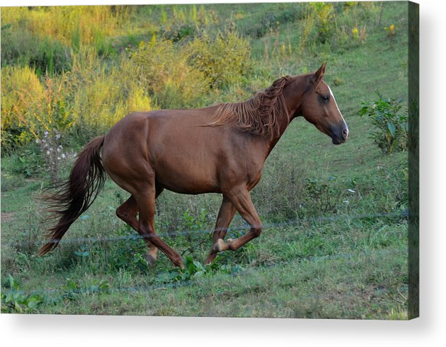 Paul Lyndon Phillips Acrylic Print featuring the photograph Roan At Up Hill Run - C0083c by Paul Lyndon Phillips