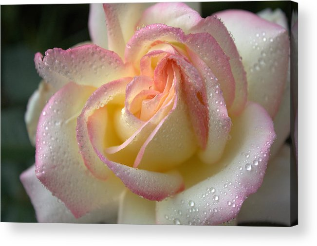 Flower Acrylic Print featuring the photograph Rose Blush by Eldon Roberts