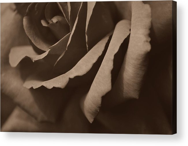 Rose Acrylic Print featuring the photograph Rose In Sepia by Rheann Earnest