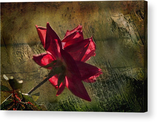 Rose Acrylic Print featuring the photograph Roses Are Red With A Bit Of Grunge by Kathy Clark
