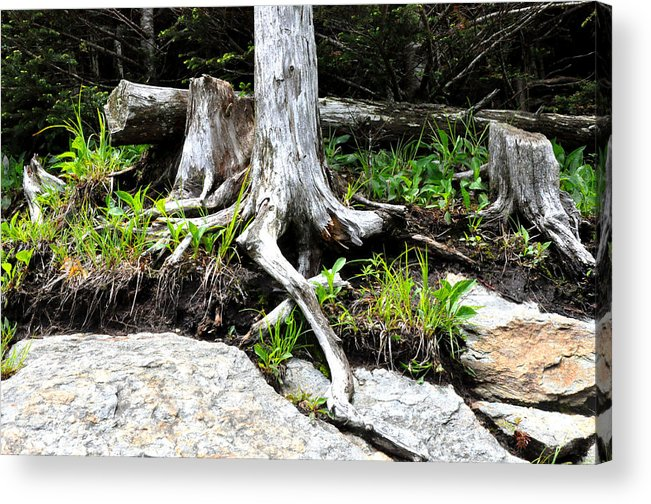 Root Acrylic Print featuring the photograph Rotted Roots by Colleen Taylor