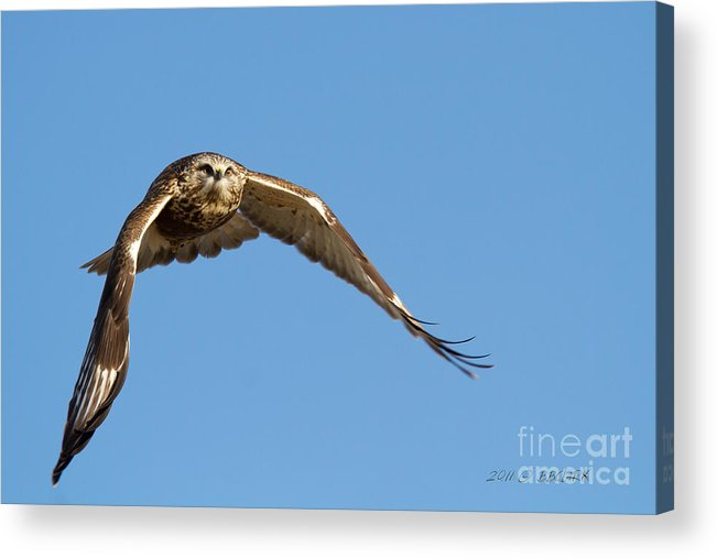 Rough-legged Hawk Acrylic Print featuring the photograph Roughie by Beve Brown-Clark Photography