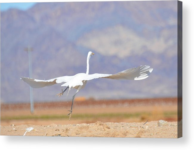Egret Acrylic Print featuring the photograph Running Start by Linda Larson