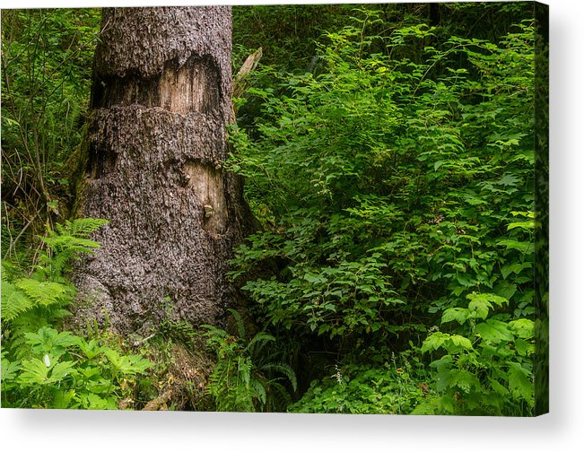 Fern Canyon Acrylic Print featuring the photograph Sasquatch Rubbing Tree by Greg Nyquist