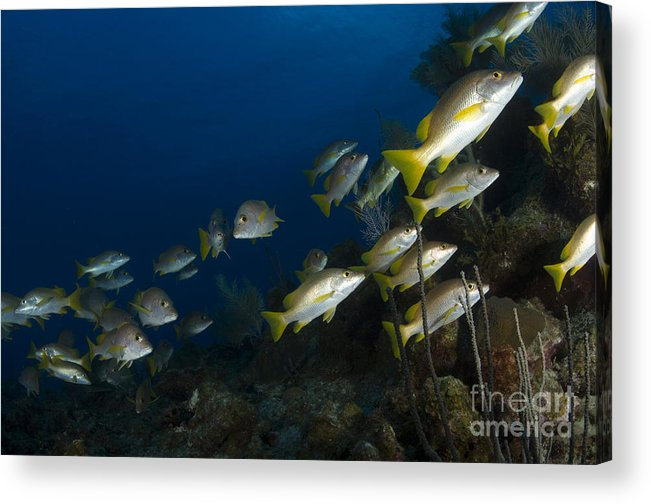 Sea Life Acrylic Print featuring the photograph School Of Schoolmaster Snapper, Belize by Todd Winner