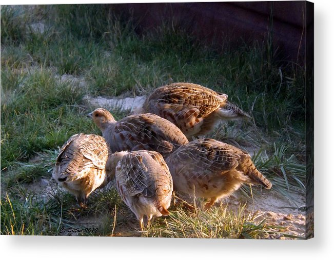 Bird Photographs Acrylic Print featuring the photograph Sharptail Grouse by C Sitton