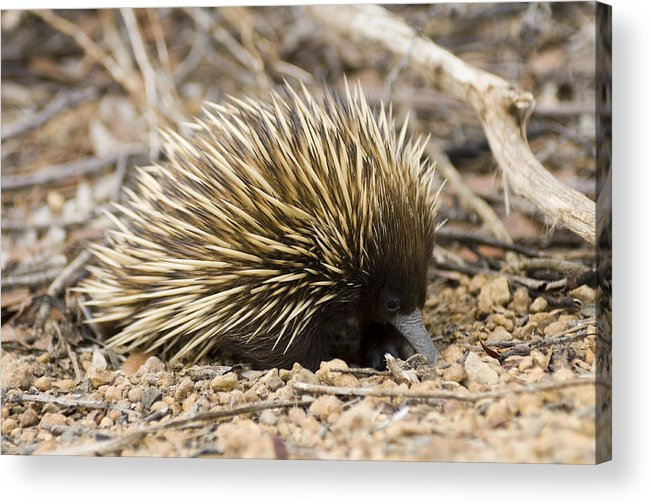 Tachyglossus Aculeatus Acrylic Print featuring the photograph Short-beaked Echidna by Matthew Oldfield