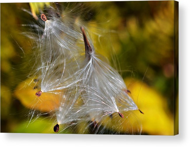 Plant; Weed; Milkweed; Asclepias Syrica; Perennial; Silk; Season; ; Fall; Colorful; Fluffy; Wild; Nature; Seeds; Pod; Group; Many Acrylic Print featuring the photograph Silky Autumn by Susan Leggett