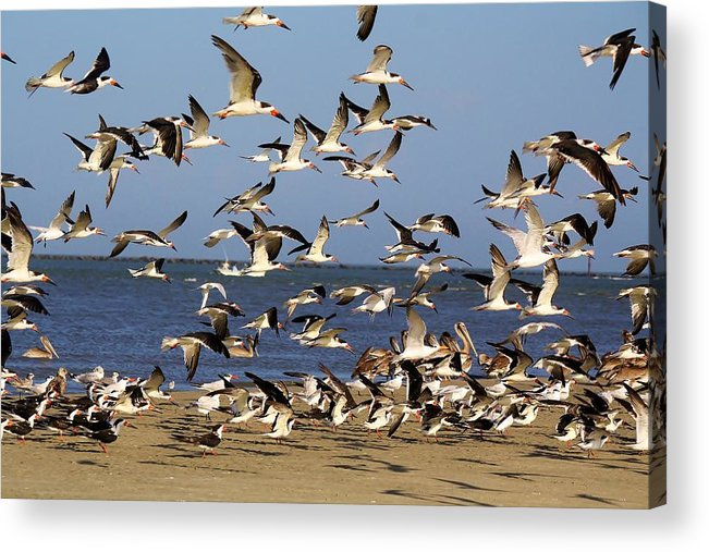 Pelican Acrylic Print featuring the photograph Skimmer Take Off by Paulette Thomas