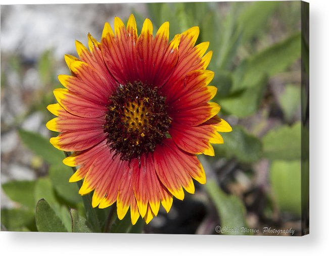 Flower Acrylic Print featuring the photograph Smiles by Charles Warren