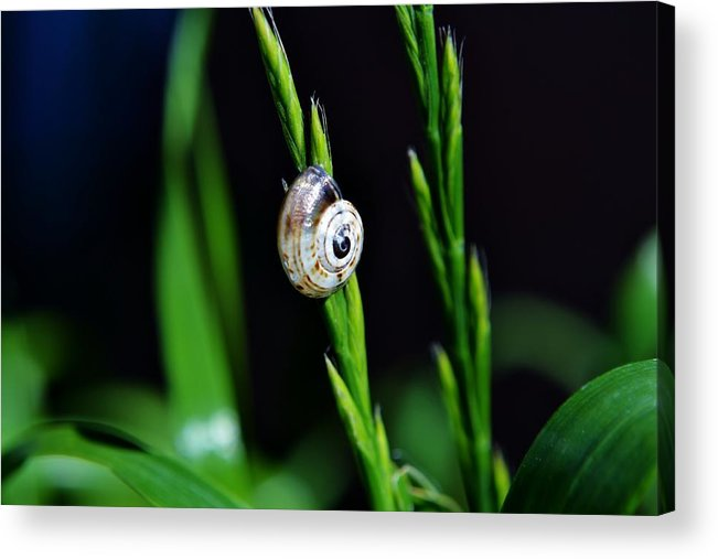 Close Up; Snail; Plant; Garden; Green; Brown; Beige; Nature; Gastropod; Invertebrate; Background; House; Spiral; Grass; Blooming; Blade; Acrylic Print featuring the photograph Snail On Green Grass by Werner Lehmann