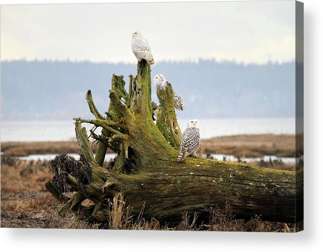 Snowy Owls Acrylic Print featuring the photograph Snowy Owls by Pierre Leclerc Photography