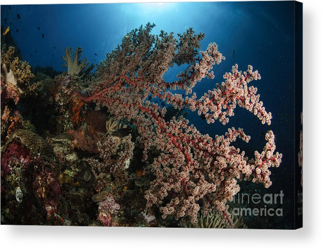 Ocean Acrylic Print featuring the photograph Soft Coral Reef Seascape, Indonesia by Todd Winner
