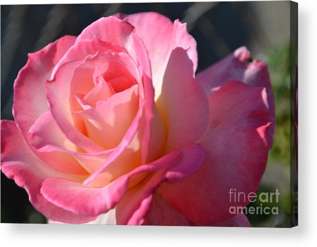 Rose Acrylic Print featuring the photograph Soft Rose by Saifon Anaya