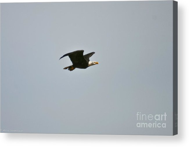 Bald Eagle Acrylic Print featuring the photograph Special Delivery by Mitch Shindelbower