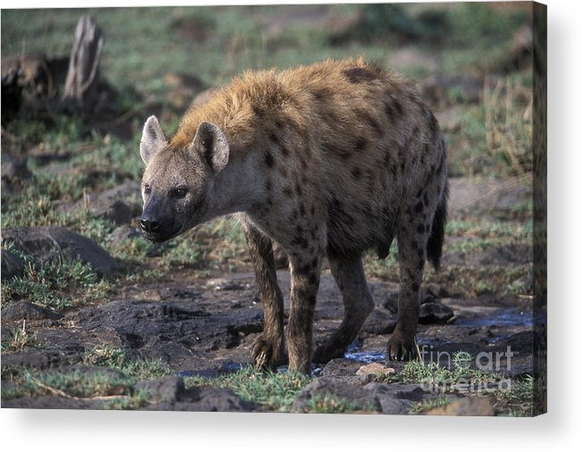 Africa Acrylic Print featuring the photograph Spotted Hyena by Sandra Bronstein