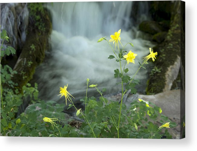 Wildflowers Acrylic Print featuring the photograph Spring Columbine by Wayne Johnson