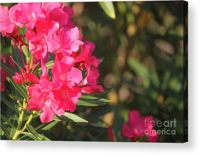 Acrylic Print featuring the photograph Spring On Oleander by Bev Veals