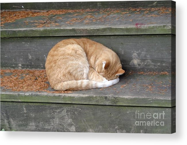 Cat Acrylic Print featuring the photograph Step Sleeper by Living Color Photography Lorraine Lynch