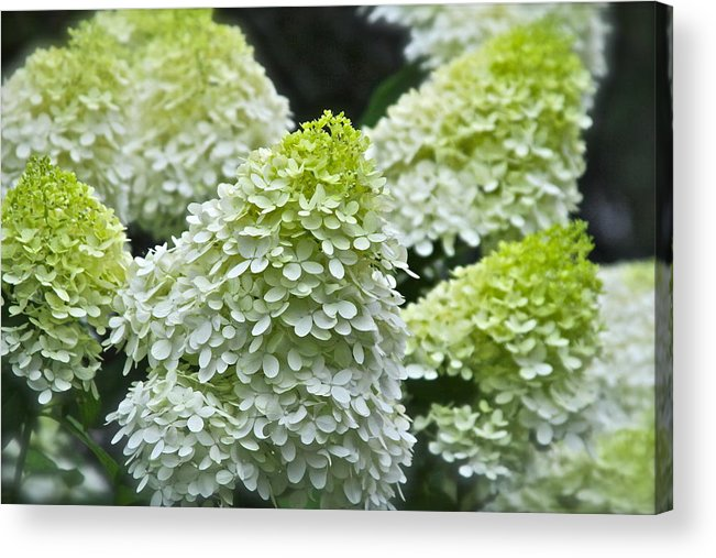 Flowers Acrylic Print featuring the photograph Summer Fluff by Mike Stouffer
