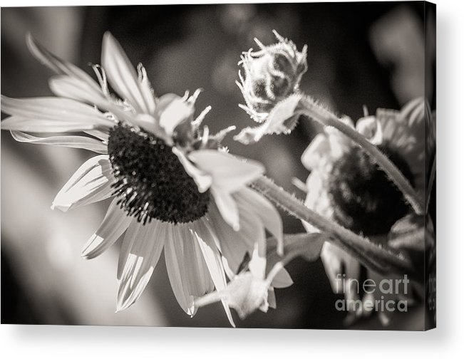 Sunflower Acrylic Print featuring the photograph Sunflower by Sherry Davis