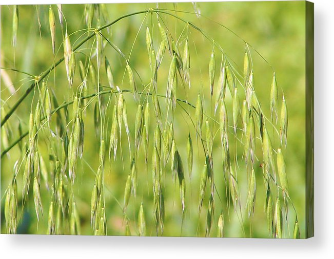 Oats Acrylic Print featuring the photograph Sunny Day At The Oat Field by Christine Till
