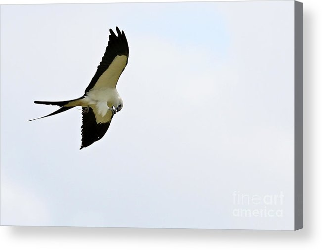 Kite Acrylic Print featuring the photograph Swallow Tail Kite Having Lunch by Rodney Cammauf